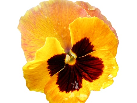 macro detail of yellow pansy flower isolation over white background Stock Photo - 9555229