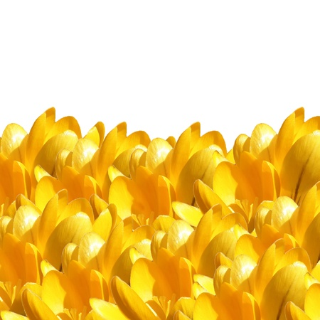 yellow flowers isolated over white background in summer time photo