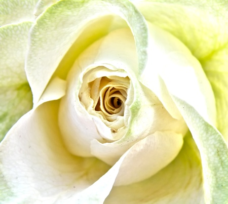 closeup macro detail of wedding white rose photo