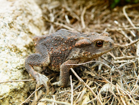 closeup macro detail of brown frog in forest photo