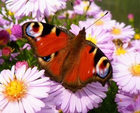 mariposa azul: Detalle detalle de mariposa en flor en tiempo de verano