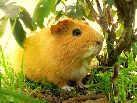 nice little guniea pig in wild nature     photo