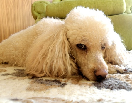 detail of young poodle in living room