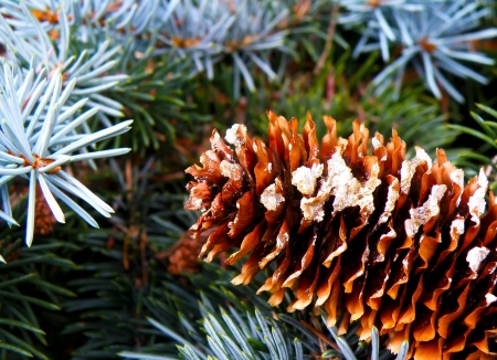 Macro detail of cone and silver spruce in wild forest. photo