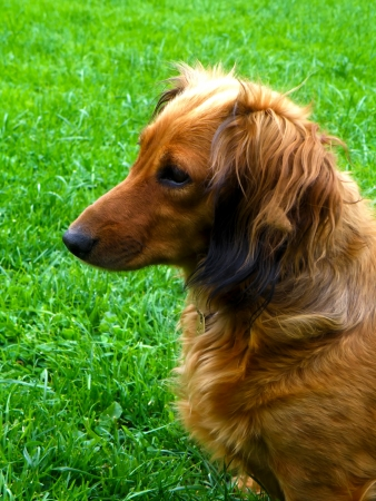 Detail of brown dog sitting on green gras in garden. Dachshund. photo