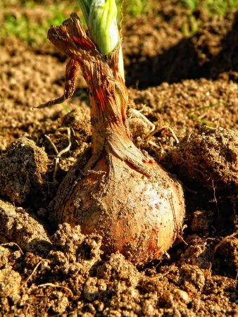 bulb and stem vegetables: Macro detail of onion in brown ground by autumnal harvest.
