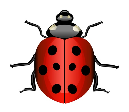 Vector realistic illustration of ladybug. Isolation over white background. Vector