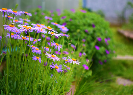 Summer garden with purple flowers and green plants photo