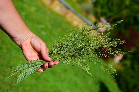 tuft: Detail of tuft of grass in summer garden