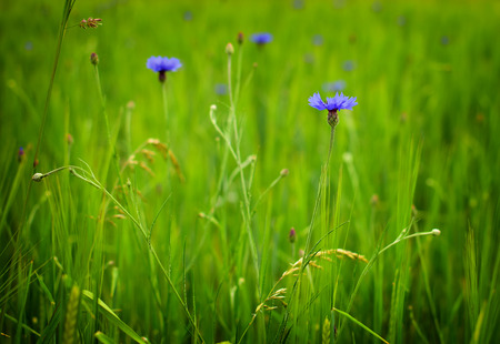 Detail of green barley field with blue flowers in summer time photo
