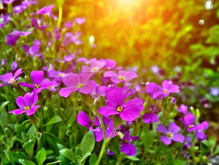 Detail of rock garden flower. Closeup macro detail of purple and pink bloom or blooming flowers. photo