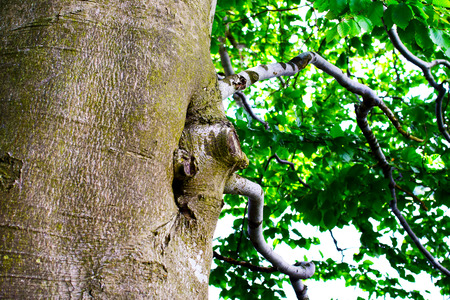 Detail of mighty oak tree in summer time