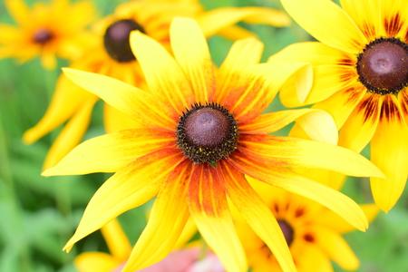 Detail of nice yellow flower in summer garden. Rudbeckia hirta.