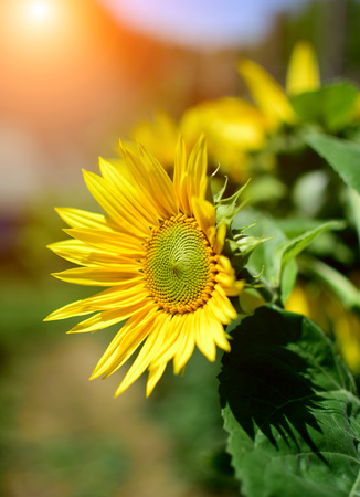 Detail of sunflower in summer garden with sun reflections