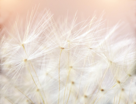 Close up macro image of dandelion seed heads with detailed lace-like patterns. Background on theme peace and purity.