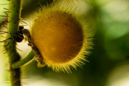 Yellow Solanum Ferox, eggplant