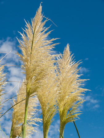 invasive plant: Group of pampas grass (Cortaderia selloana) with blue sky