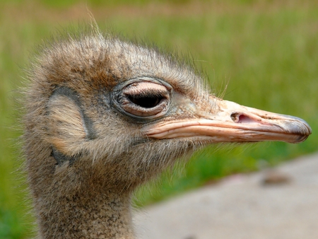 struthio camelus: Detail and close-up of ostrich head (Struthio camelus)
