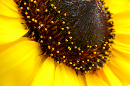 the stamens: Macro view of sunflower with its crown and stamens Stock Photo