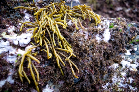 photosynthetic: Detail of seaweed (Codium tomentosum) in a rock of the Cantabrian coast