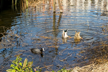 palmiped: Pair of ducks eating with his head submerged in the water