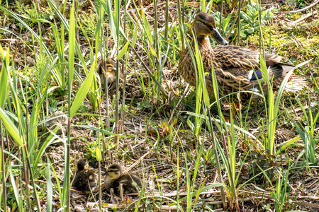 brood: Mother duck with her brood between the vegetation