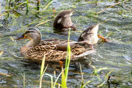 brood: Mother duck with her brood in a lake