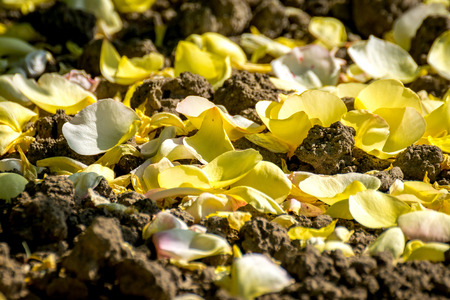tranquilly: Detail of carpet of yellow rose fallen petals Stock Photo