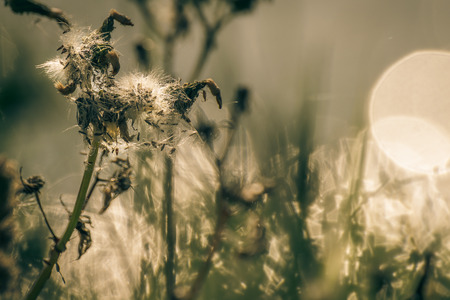 wilted: Dry and wilted dandelion as floral background with space for text Stock Photo