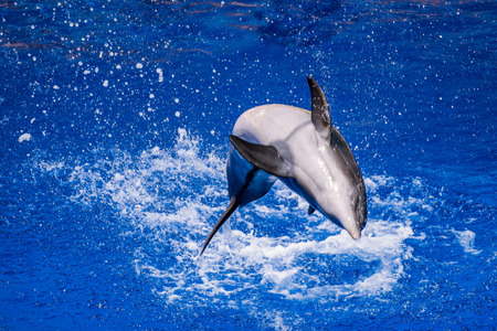 fish exhibition: Dolphin doing tricks on water