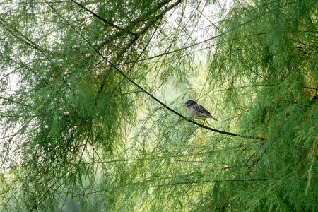fem: Detail of common sparrow perched on a branch