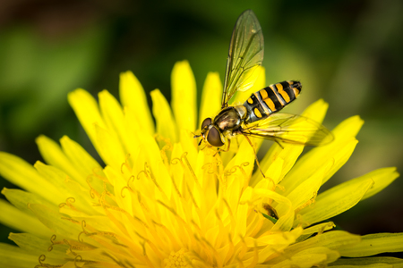 syrphid fly: Macro detail of a drone fly over yellow flower (Eristalis tenax)