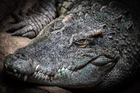 the nile: Close-up of the head of a Nile crocodile (Crocodylus niloticus) Stock Photo