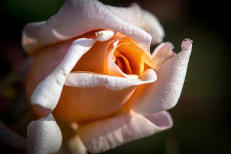 capullo: Capullo de rosa rosa entreabierta