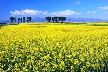 Oil seed rape field in the summer sun,Filming in China's Qinghai