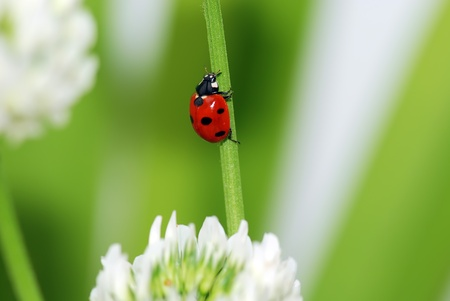 A  red ladybird in a green leaf photo