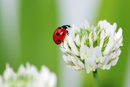 A  red ladybird in a  white  flower Stock Photo - 8672217