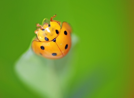 A  yellow ladybird in a  white  flower photo