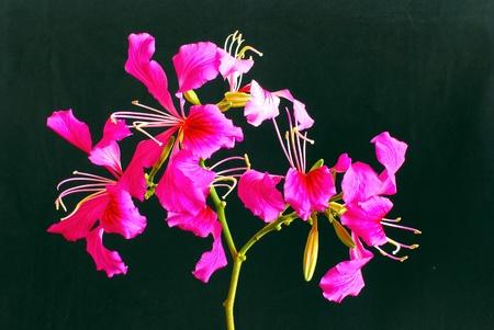 The beautiful pink bauhinia blakeana flower