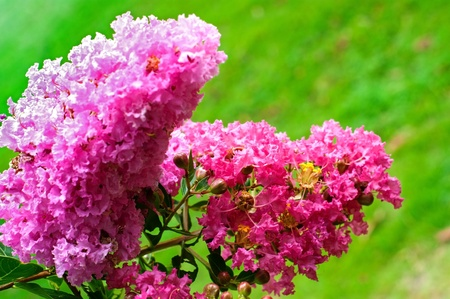 Crape myrtle flowers isolated on a green background photo