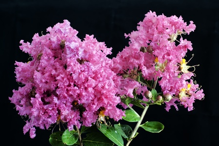 Crape myrtle flowers isolated on a black background Stock Photo - 10014264