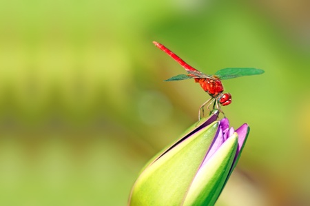 red dragonfly stop on the lotus flower photo