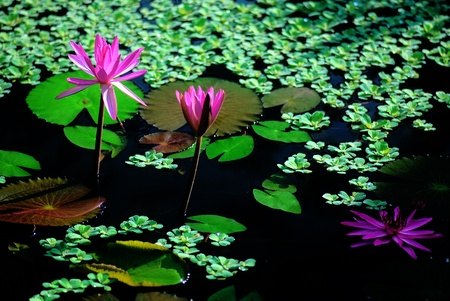 nymphaea: Pink and red water lily on a pond