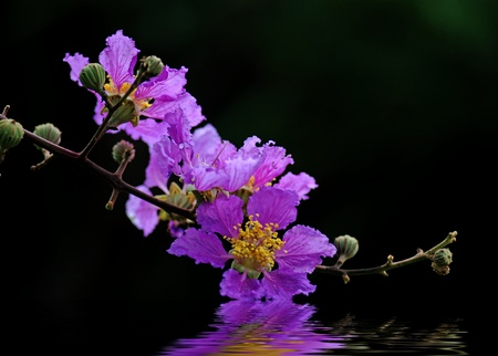 Crape myrtle flowers isolated on a black background Stock Photo - 10337092