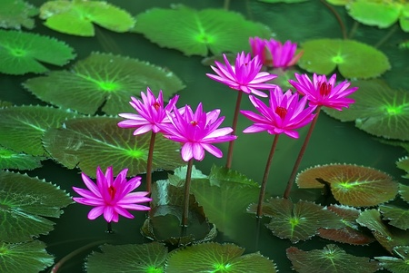 Nénuphar rose et rouge sur un étang Banque d'images