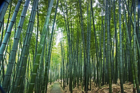 landscape of Bamboo forest in Sichuan Bamboo Sea  - taken in Sichuan, China