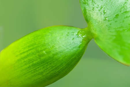 water hyacinth: Aquatic plants - water hyacinth stems and leaves