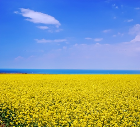 Summer landscape. Sky and the lake and blooming field - Taken in the Qinghai  lake of China's