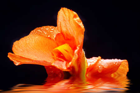 The Canna after the rain Stock Photo - 12804524
