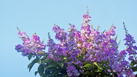 Crape myrtle flowers photo